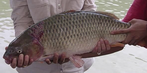 Umpan Mancing Ikan Mas Air Coklat Bening Ampuh Dan Jitu Resep Umpan Ikan Paling Jitu