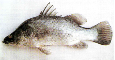 Kakap Putih dari species Lates Calcalifer.